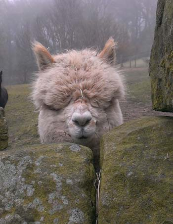 Alpaca, courtesy of Shaun Daniel