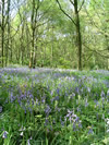 Bluebells in Hirst Wood